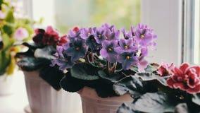 Bonita, florescendo, a violeta macia, vermelho, violetas cor-de-rosa floresce no potenciômetro no fim da soleira acima vídeos de arquivo