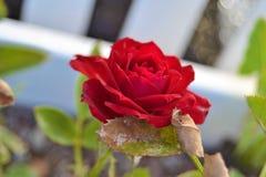 Bonita Rosa Catalonia, Espanha foto de stock