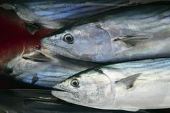 Boniter, Sarda Sarda op bloedig water Stock Fotografie