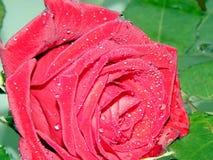 Bonito aumentou com pingos de chuva fotos de stock royalty free