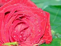 Bonito aumentou com pingos de chuva foto de stock royalty free