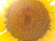 Bonito, beleza, Botânica, brilhante, cor, cultivada, campo, flora, floral, flor, jardim, dourado, verde, folha, luz, macro, nat Fotos de Stock Royalty Free