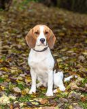 Bonito, Brown e cachorrinho branco do cão do lebreiro Imagem de Stock