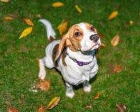 Bonito, Brown e cachorrinho branco do cão do lebreiro Fotografia de Stock