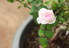 Bonito cor-de-rosa levantou-se Imagens de Stock