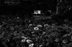 Bonito da cabeça de flor preto e branco no jardim exterior em Chiang Mai, Tailândia fotos de stock royalty free