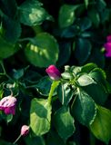 Bonito da flor cor-de-rosa cor-de-rosa com estilo do vintage no jardim em Chiang Mai, Tailândia imagens de stock royalty free