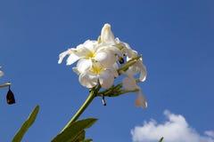 Bonito da flor do plumeria contra o céu azul fotografia de stock royalty free