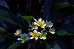 Bonito das flores brancas do Plumeria exteriores em Chiang Mai, Tailândia imagens de stock royalty free