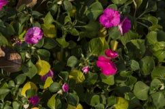 Bonito das flores cor-de-rosa, brancas, roxas que florescem em um jardim Imagens de Stock Royalty Free