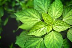Bonito das folhas verdes com iluminação na manhã, fundo natural do espaço Fotografia de Stock