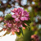 Bonito de árvores de maçã floresce no eveni morno da mola do por do sol Foto de Stock