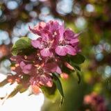 Bonito de árvores de maçã floresce no eveni morno da mola do por do sol Imagem de Stock