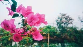 Bonito de flores cor-de-rosa Imagem de Stock Royalty Free