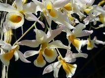 Bonito de orquídeas tailandesas Imagem de Stock
