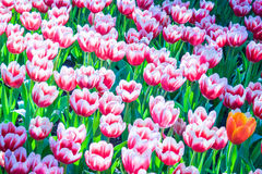 Bonito de Tulip Flowers Foto de Stock
