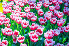 Bonito de Tulip Flowers Fotografia de Stock