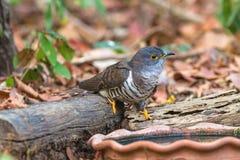 Bonito do pássaro o menor do cuco, micropterus indiano do Cuculus do cuco, água potável na cuba Fotografia de Stock