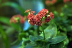 Bonito e fácil importar-se com, o kalanchoe é uma planta carnuda com grande folha verde imagem de stock royalty free