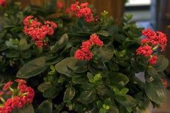 Bonito e fácil importar-se com, o kalanchoe é uma planta carnuda com grande folha verde fotografia de stock
