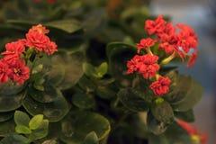 Bonito e fácil importar-se com, o kalanchoe é uma planta carnuda com grande folha verde imagens de stock royalty free
