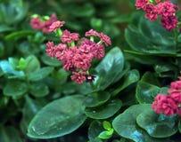 Bonito e fácil importar-se com, o kalanchoe é uma planta carnuda com grande folha verde foto de stock