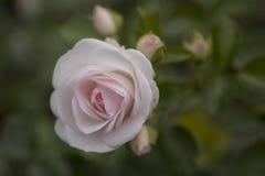 Bonito empalideça - a rosa do rosa no close up do jardim Fotos de Stock