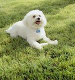 Bonito, feliz, cão de Bichon Frise com a pele branca limpa que joga com o osso do brinquedo da mastigação fora no gramado da gram imagens de stock royalty free