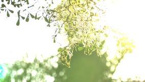 Bonito fora do por do sol do foco Brilho de Sun completo o sopro nas folhas da árvore do vento vídeos de arquivo