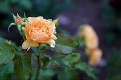 Bonito ilumine - a rosa alaranjada imagem de stock royalty free