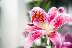 Bonito lilly Foto de Stock Royalty Free