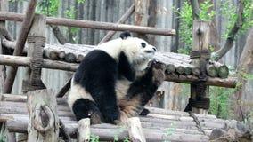 Bonito pouco Panda Cub está refrigerando para fora riscando seu corpo com seus pés, China video estoque