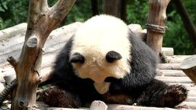 Bonito pouco Panda Cub está refrigerando para fora riscando seu corpo com seus pés, China filme
