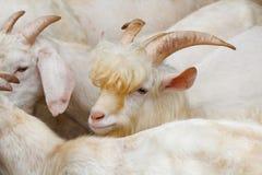 Bonito saanen a cabra Foto de Stock Royalty Free
