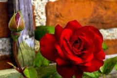 Bonito subió en jardín Foto de archivo libre de regalías