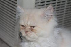 Bonito tome uma sesta do gato persa branco tão bonito ao sul de Tailândia Fotos de Stock