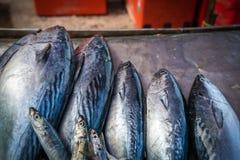 Bonito Tuna on a dark backgrund. Bonito Tuna fish on a dark backgrund royalty free stock image
