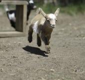 13 bonitos cabra dias de idade do bebê Fotografia de Stock