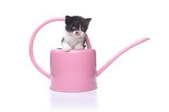 3 bonitos gatinho semanas de idade do bebê em uma lata molhando do jardim Imagem de Stock Royalty Free