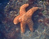 Bonjour de ondulation de poissons d'étoile Photo stock