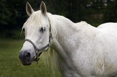 Bonjour là - cheval Arabe Image stock
