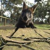 Bonjour wallaby photos libres de droits