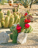 Bonker hedgehog cactus Royalty Free Stock Images