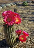 Bonker hedgehog cactus Royalty Free Stock Photography