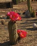 Bonker hedgehog cactus Royalty Free Stock Photo