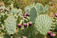 Bonkreta kaktusy Obrazy Royalty Free
