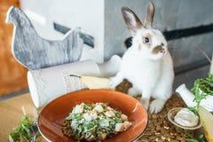 Bonkrety i Arugula sałatka z Sosnowymi dokrętkami blisko pięknego białego królika Zdjęcie Royalty Free