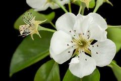 Bonkrety okwitnięcia kwiat na czerni Fotografia Stock