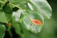 Bonkrety rdza lub Gymnosporangium sabinae na bonkrecie leaf obraz stock
