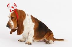 Bonne année, basset de Noël, d'isolement sur le blanc Photographie stock libre de droits